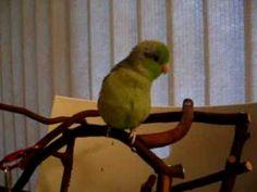 Talking Parrotlet Koolaid plays peek-a-boo (www.Facebook.com/ParrotTalkBC)
