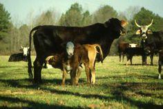 Cow family in Arkansas  / ckoegl
