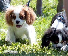 King Charles Spaniel puppies