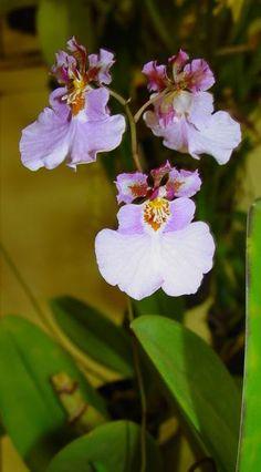 Tolumnia pulchella - Another Color