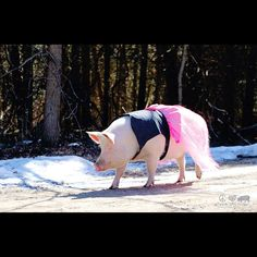 It NEVER GETS OLD seeing Esther The Wonder Pig in the Snort Life Dress We Made Her!! Esther's dress is one of a kind, but we made a similar dress to her custom piece. :)