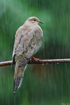 earth-song: Mourning Dove - Vestal, New York A shot taken not even a minute before In the Rain of a different dove on a better perch. Shot through my sliding glass doors. by © Melissa Mancuso Penta Love Birds, Beautiful Birds, Bob Dylan, Rainy Night, Rainy Days, Rainy Sunday, Showers Of Blessing, Dove Pigeon, Earth Song