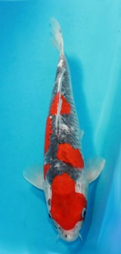 1000 images about the honorable koi on pinterest koi for Real blue koi fish