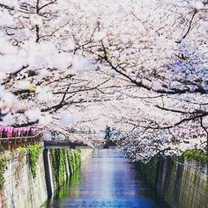 【sakuraterracehi】さんのInstagramをピンしています。 《We can't wait until late March for the Sakura blooming season to start in Japan! Every year thousand of people visit Japan and follow the Sakura blooming up the island of Japan. Usually starting in Okinawa and worked its way up to Hokkaido in May. Would you ever do it?  (Photo courtesy of @lestaylorphoto)  #themoreyouknow #japan #sakura #hanami #excited #日本 #花見 #桜》