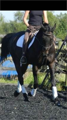 Zac - Stunning 16.2hh dark bay gelding http://www.equineclassifieds.co.uk/Horse/stunning-162hh-dark-bay-gelding-listing-237.aspx#.UlLOMFMyCSo