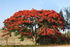 Flamboyant/Flamboyan/Delonix Regia 02 | Flickr: Intercambio de fotos Delonix Regia, Tropical, Fall Recipes, Houseplants, Puerto Rico, Flora, Beautiful, Magnolias, Ideas Para