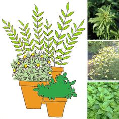 Freshly Brewed Herbal Tea, Growing Right Outside Your Door