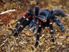 Two tarantulas had already escaped from their container!