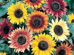 """I'm auctioning '10 """"Autumn Bounty"""" Sunflower seeds' on #tophatter **Mention pinterest @ checkout for free gift!!"""