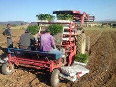 Aussetzen der jungen Paprikapflanzen aufs Feld