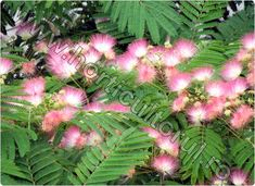 Albizia Julibrissin, My Flower, 3, Home And Garden, Wisteria, Cottages, Gardening, Decor, Plant