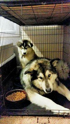 Mom, you said she wasn't allowed in my room Giant Malamute, Husky, Mom, Animals, Animales, Animaux, Animal, Animais, Husky Dog