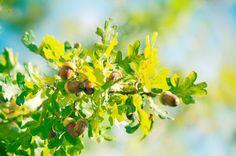 Oak Tree and Acorns/Ek och ekollon