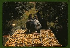 Hauling crates of peaches from the orchard to the shipping shed, Delta County, Colo. (LOC) | Flickr - Photo Sharing!