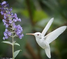 Rare albino Ruby-throated Hummingbird Winging it: The gorgeous albino birds are particularly vulnerable because of their lack of camouflage and weakened pale feathers Pretty Birds, Love Birds, Beautiful Birds, Animals Beautiful, Animals Amazing, Pretty Animals, Rare Animals, Unique Animals, Small Animals