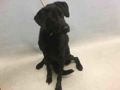 COLE IS SAFE - 10/04/16 - Urgent Manhattan - COLE - #A1091658 - NEUTERED MALE BLACK/WHITE LABRADOR RETR MIX, 4 Yrs-  OWNER SUR - EVALUATE, NO HOLD Reason MOVE2PRIVA - Intake 09/29/16 Due Out 09/29/16 - ACTIVE, FRIENDLY, ALLOWS ALL HANDLING - PROBABLE CRUCIATE LIGAMENT TEARS, LIKELY NEEDS SURGERY