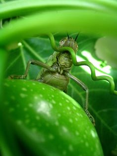 brown grasshopper hiding Grasshoppers, Vegetables, Brown, Vegetable Recipes, Brown Colors, Veggies