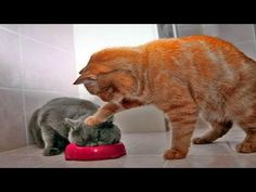 TRY NOT TO LAUGH or GRIN - Best Funny Cats Fails Videos Compilation - http://positivelifemagazine.com/try-not-to-laugh-or-grin-best-funny-cats-fails-videos-compilation/ http://img.youtube.com/vi/5ovGCpbBdVU/0.jpg  Funny cats compilation 2016 Best funny cat videos ever by Funny Vines.Hope you like a new funny cat videos compilation 2016.These funny cats and silly cats … ***Get your free domain and free site builder*** Click to Surprise me! Please follow and like us: