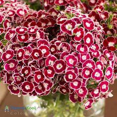 El diseño cromático de nuestras variedades harán la diferencia en tus espacios. #flores #HilverdaKooij