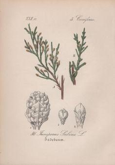 Savin Juniper Botanical Illustration 1880 Antique by Craftissimo