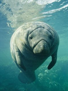 Florida Manatee. Photo by Brian Skerry.