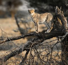 Cheetah, Tanzania by Andy Edge  Wildlife Photo Of The Day by Andy Edge from the UK This was a young Cheetah, following its mother as she began to hunt. The Cheetah and its siblings seemed more interested in climbing and play chasing each other.    Canon 5D Mk IV Canon 500mm f/6.3 1/400sec ISO 500 Well done, Andy. Your picture... http://lp-mag.com/1xpl
