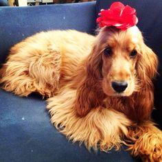 #flower #gold #cocker #spaniel #fluffy