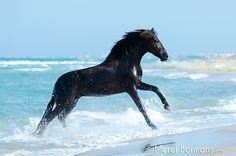 Slender black horse jumping in the waves at the beach. Amazing water!© Merel Bormans Photography www.merelbormans.com Made in Tunesia