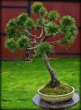 Výsledek obrázku pro bonsai z tuji