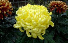 <em>Chrysanthemum</em> x <em>morifolium</em> 'Houston' (Irregular Incurve)