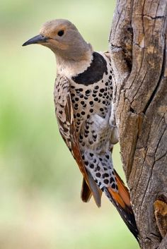 Northern flicker woodpecker.