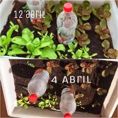 Evolución del huerto   Plantas Plantar, Beef, Vegetable Garden, Flower Pots, Friday, Friends, Photos, Meat, Ox