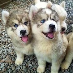 Wonderful All About The Siberian Husky Ideas. Prodigious All About The Siberian Husky Ideas. Le Husky, Husky Puppy, Pomeranian Puppy, Fluffy Puppies, Cute Dogs And Puppies, Doggies, Lab Puppies, Huskies Puppies, Cute Animals Puppies