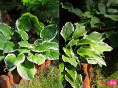 rośliny do cienia Bonsai, Plant Leaves, Diy And Crafts, Pergola, Plants, Balcony, Gardening, Terrace, Bonsai Trees