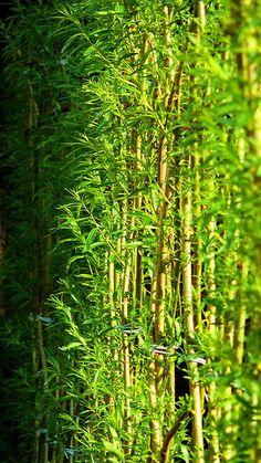 Živé stavby z vrby - vrbové stavby - Proutěné ploty a rohože na plot   Vrbové stavby - Naše realizace Živý vrbový plot v soukromé rezidenci v Praze Living Willow, Prague, Pergola, Future, Plants, Future Tense, Outdoor Pergola, Plant, Planets