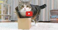 Click to see whether Maru can fit himself into the tiniest of boxes!