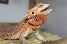 Bearded Dragon with beautiful red beard. Red Beard, Full Beard, Bearded Dragon, Bearded Men, Beard Care, Beards, Dragons, Animals, Beautiful