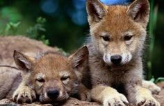 Red Wolf | With Help from Species Survival Plan, Red Wolves May Have a Future