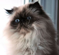 Fluffy Cat Breeds types are pet cats that have luxurious, complete layers as well as cosy tails that stand far from the body. Pretty Cats, Beautiful Cats, Cute Cats, Crazy Cat Lady, Crazy Cats, Neko, Fluffy Cat Breeds, Himalayan Cat, Exotic Shorthair