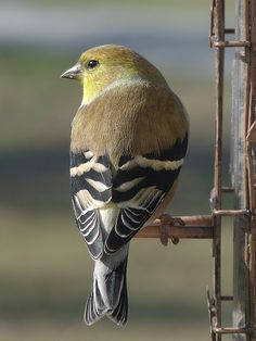 American Goldfinch - keep thistle & black oil sunflower seed feeders full and they'll find them!