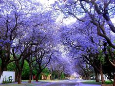 Brisbane is known for it's tree lined streets. In October the Jacaranda's are in flower.