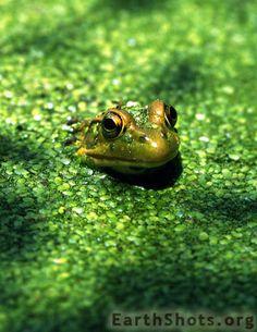 Green Frog by Carol