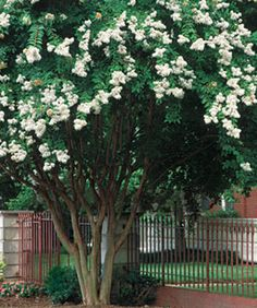 Pruning Crape Myrtles: Make the right cuts to improve the tree's looks and health