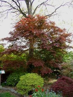 how to grow acer trees