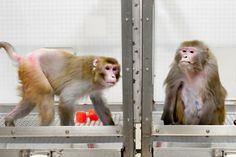 Canto, 27, on a restricted diet, and Owen, 29, a control subject at the Wisconsin National Primate Research Center in 2009. Wisconsin's study concluded that calorie restriction lengthened life, but a later study suggested the opposite. After two studies of low-calorie diets among monkeys reached opposing conclusions, one team has struck back, asserting that the other study was in error because its control group was also fed a lean diet.