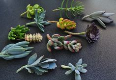 75 Succulent Cuttings with Rooting Powder for Wedding Favors, Centerpieces, Bouquets, Wreaths, Flat Panel Living Walls