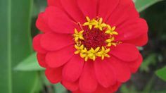 Flor San Rafael (Valle Antón) #red