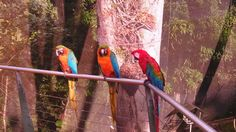 Parrots at La Marquesa Forest Park, Guaynabo, PR