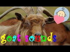 Goat sounds | Goat yelling | Animal sounds for children to learn - YouTube