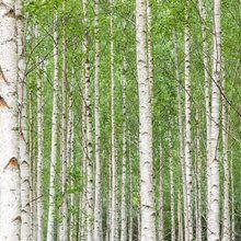 Valokuvatapetti - White Birch Forest